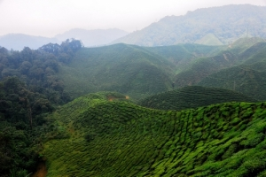 Beautiful-Tea-Fields cloudy