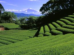 Terraced tea field